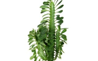 Ядовитые цветы названия ядовитых растений, меры защиты от таракара
