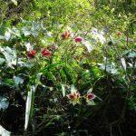 Гиппеаструм — уход в домашних условиях, виды с фото, нюансы выращивания