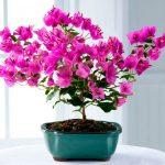 Бугенвиллия — уход в домашних условиях, выращивание цветка, размножение, виды c фото