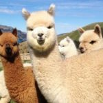 Что такое шерсть альпака Какое это животное Чем хороша эта шерсть Виды и свойства шерсти альпака