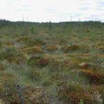 Верховое болото описание флоры и каких представителей фауны можно встретить в заболоченной местности