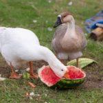 Как и чем кормить гусей в домашних условиях