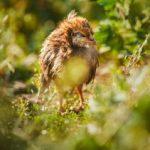 Ларинготрахеит у цыплят – лечение и симптоматика болезни