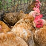 Лечение инфекционного бронхита кур народными и ветеринарными средствами