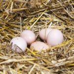 Зачем прибегают к искусственной линьке кур-несушек на птицефабриках