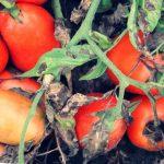 Гниют помидоры на кусте – что делать дачнику