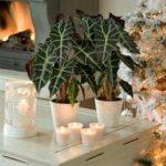 Как вырастить алоказию в домашних условиях виды цветка, условия содержания и уход, методы