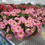 Выращивание ампельной петунии правила посадки и ухода за растением