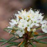 Как выглядит кустарник багульник на фото, когда и как это растение цветет
