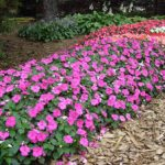 Бальзамин садовый сорта с фото, выращивание из семян в домашних условиях, посадка и уход в открытом