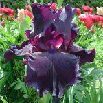 Ирисы виды и их описание, размножение цветка и фото ирисов