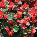 Бегония вечноцветущая что нужно для комнатного выращивания, как выращивать из семян и размножать