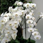 Белые орхидеи фото, описание растения и уход за ним в домашних условиях