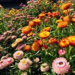 Гелихризум разновидности с фото, выращивание из семян в домашних условиях, особенности посадки и