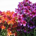 Выращивание сальпиглоссиса из семян виды растения, посадка и уход, фото цветка