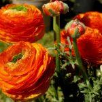 Выращивание лютика размножение, посадка и уход, фото цветов