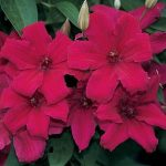 Выращивание клематиса Вышинский кардинал, правила ухода за растением