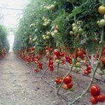 Детерминантные помидоры что это за сорт, отличие от индетерминантного вида