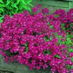 Диасция виды и фото цветка, выращивание из семян и черенков, особенности посадки и ухода в открытом