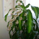 Как в домашних условиях размножить драцену способы размножения, необходимый уход за растением