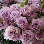 Выращивание эустомы многолетней размножение роз, посадка цветков корнем, уход за лизиантусом
