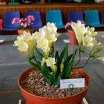Выращивание и уход за фрезиями в домашних условиях, посадка в открытый грунт и фото цветка