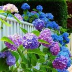 Гортензия садовая сорта и фото метельчатой и древовидной гортензии, посадка и уход в открытом грунте