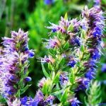 Иссоп посадка и уход, особенности выращивания из семян, лечебные свойства и применение в кулинарии