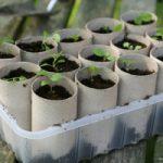 Вербена выращивание из семян в домашних условиях, посадка и особенности ухода в открытом грунте
