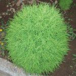 Выращивание кохии из семян виды ландшафтного дизайна, когда сажать посадки и как ухаживать