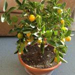 Выращивание мандаринового дерева в домашних условиях выбор сорта, уход за растением