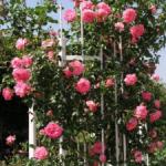 Зимостойкие плетистые розы сорта цветущие все лето, агротехника выращивания