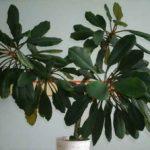 Выращивание молочая беложильчатого в домашних условиях посадка, уход, вред и польза этого растения