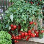 Как выращивать на балконе богатый урожай помидор выбор сорта томата, подготовка грунта, посев