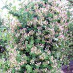 Жимолость каприфоль особенности вида, способы размножения и уход за растением, фото лиан