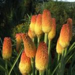 Выращивание книфофии в открытом грунте размножение семенами и вегетативным способом, посадка и уход