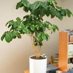 Выращивание кофе арабика в комнатных условиях подготовка дерева к посадке, уход за растением