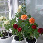 Как размножать розы черенками в домашних условиях виды комнатных роз, способы размножения, болезни