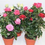 Как выращивать комнатные розы в домашних условиях правила пересадки, размножение, особенности ухода