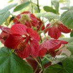 Как вырастить абутилон в домашних условиях правила выращивания растения из семян, особенности ухода