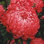 Астры выращивание из семян и особенности ухода, фото пионовидных цветков