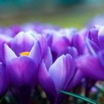 Виктория Карпухина — крокус (шафран), хранение и уход за растением