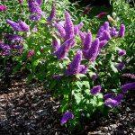 Буддлея Давида посадка и уход, фото разных видов и сортов цветка, высадка будлеи в открытый грунт