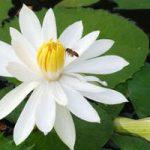 Белый цветок кувшинка особенности вида, посадка и уход