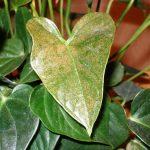Болезни антуриума и как их лечить особенности выявления по листьям, методы лечения и фото образцов