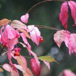 Бересклет – посадка и уход в саду