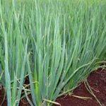 Выращивание из семян лука шалот и кущевки инструкция и полезные свойства этого деликатеса