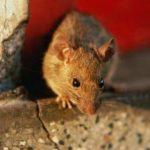 Клей для мышей и крыс инструкция по использованию, принцип действия, виды, достоинства и недостатки