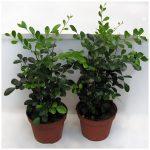 Выращивание мурайи в домашних условиях описание, уход, фото растения
