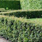 Выращивание кизильника блестящего применение в качестве живой изгороди, необходимые условия, фото
